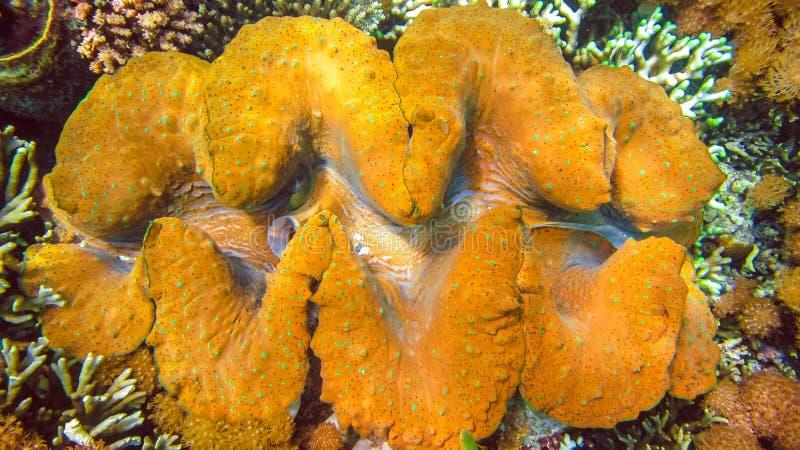 Os gigas coloridos do Tridacna dos moluscos gigantes crescem no raso de Raja Ampat, Indonésia fotos de stock royalty free