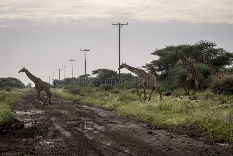 Os girafas cruzam a estrada sob linhas elétricas imagens de stock royalty free