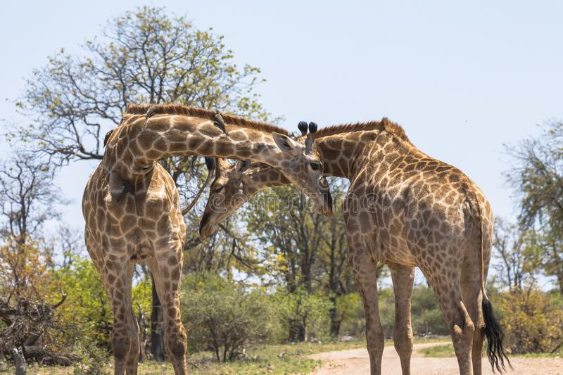 Os girafas cruzam suas cabeças na rua no parque de Kruger fotos de stock royalty free