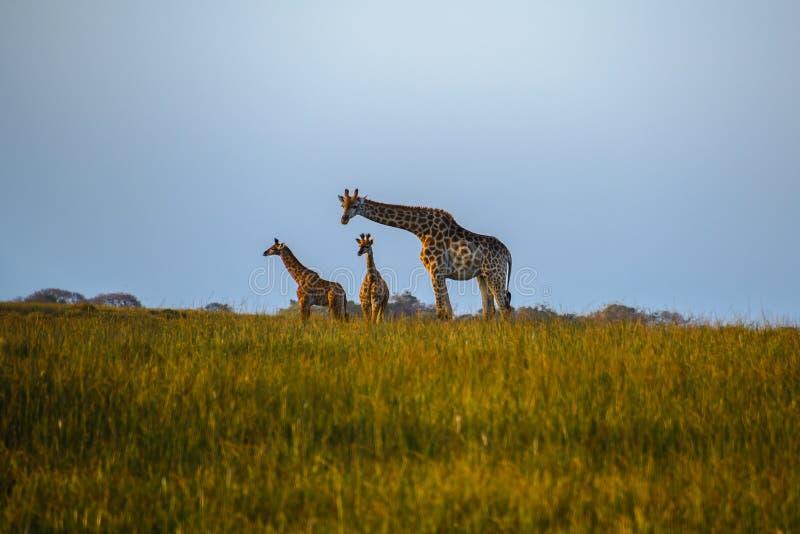 Os girafas no pantanal de Isimangaliso estacionam, St Lucia, África do Sul imagens de stock