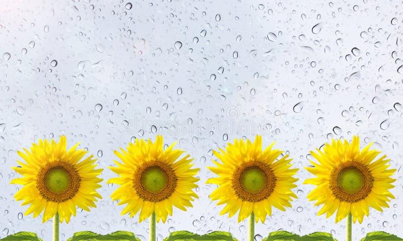 Os girassóis e a chuva deixam cair no bokeh do verde da placa de vidro fotografia de stock royalty free