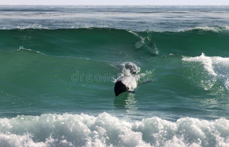 Os golfinhos de Commerson que mergulham na ?gua azul imagem de stock