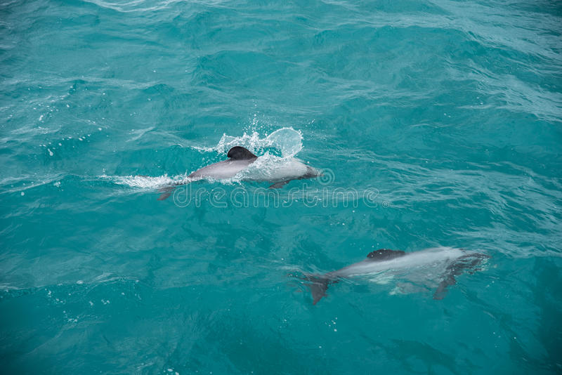 Os golfinhos de Hector imagem de stock royalty free