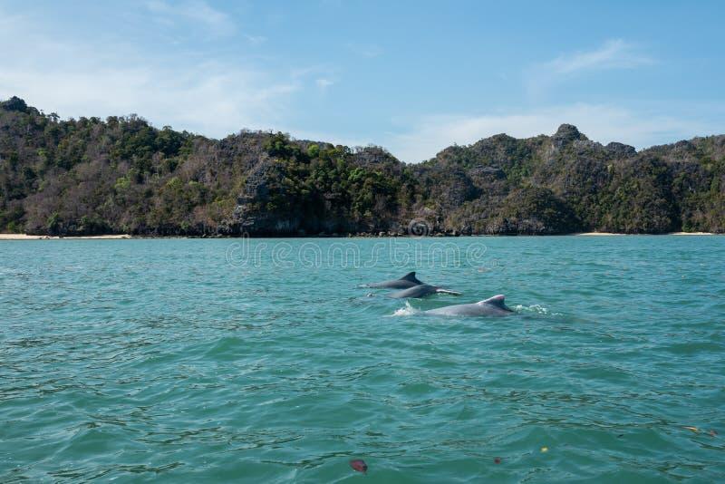 Os golfinhos em manguezais visitam no cársico Geoforest de Kilim, Langkawi imagens de stock