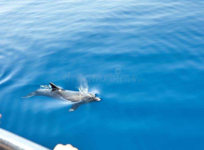 Os golfinhos no mar aberto nadaram ao iate 2019 fotos de stock royalty free