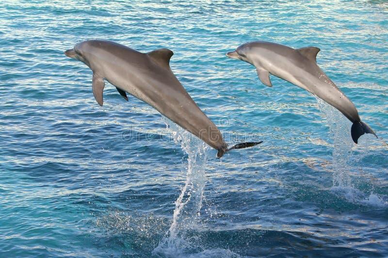 Os golfinhos que saltam dois fotografia de stock royalty free