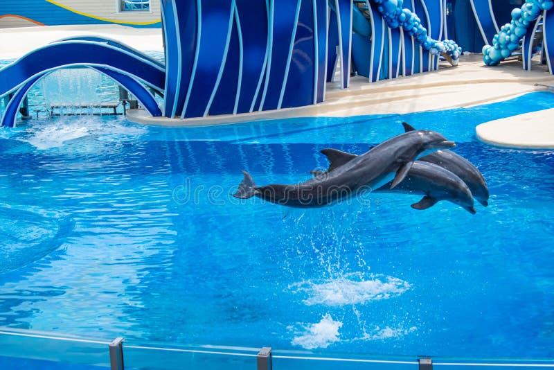 Os golfinhos que saltam em dias do golfinho mostram em Seaworld 6 imagem de stock