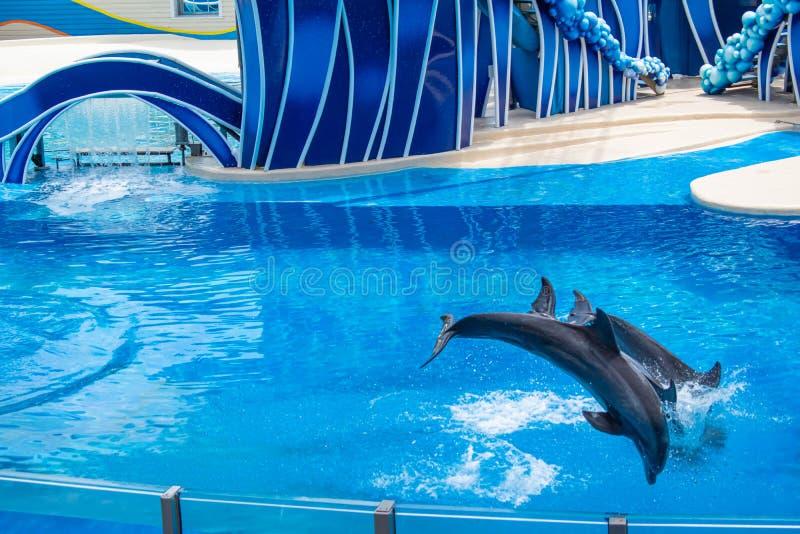 Os golfinhos que saltam em dias do golfinho mostram em Seaworld 7 foto de stock