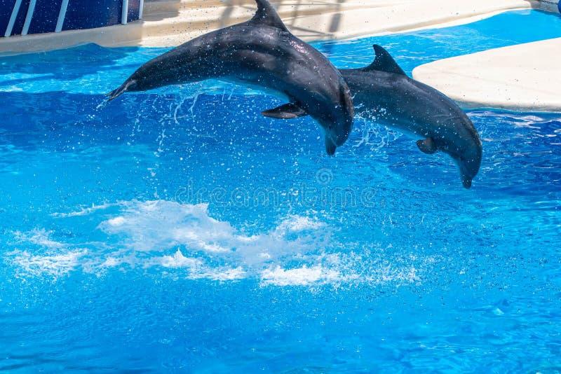 Os golfinhos que saltam em dias do golfinho mostram em Seaworld 43 fotografia de stock royalty free