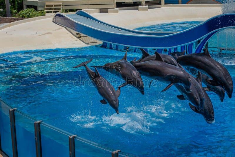 Os golfinhos que saltam em dias do golfinho mostram em Seaworld 27 fotografia de stock