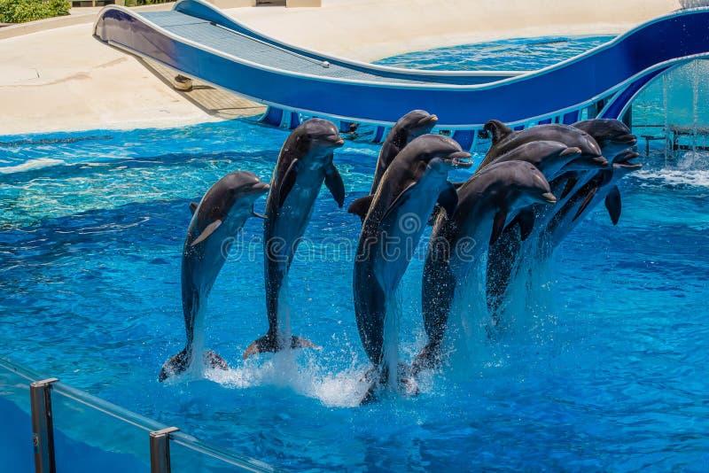 Os golfinhos que saltam em dias do golfinho mostram em Seaworld 25 imagens de stock