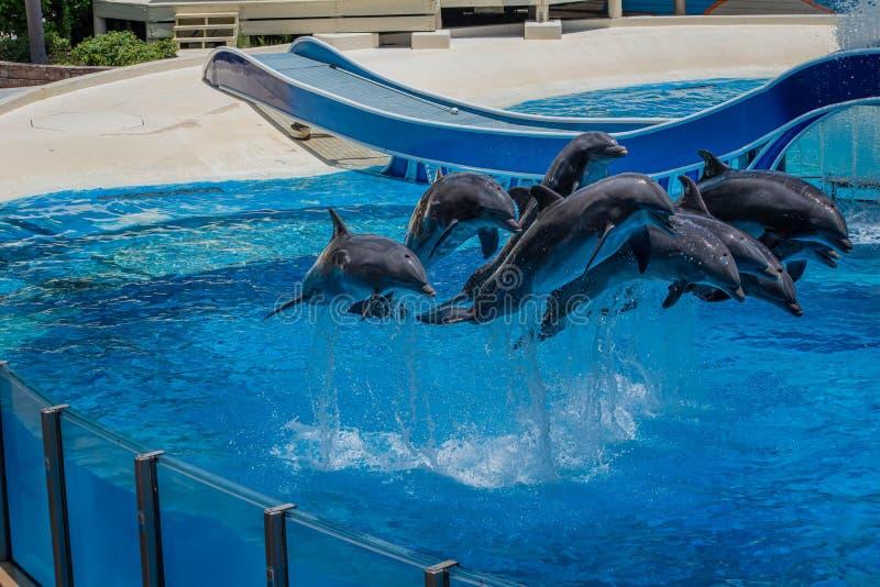 Os golfinhos que saltam em dias do golfinho mostram em Seaworld 26 foto de stock royalty free