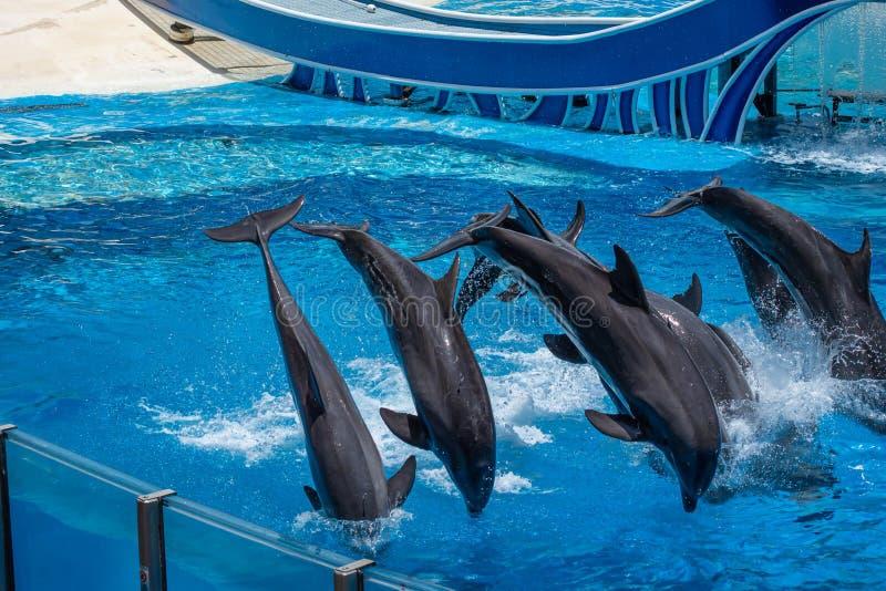 Os golfinhos que saltam em dias do golfinho mostram em Seaworld 28 imagens de stock royalty free