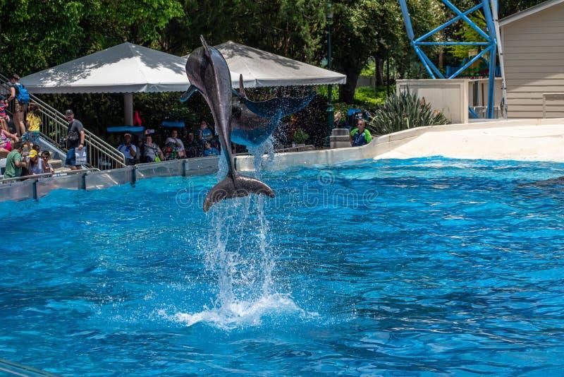 Os golfinhos que saltam em dias do golfinho mostram em Seaworld 8 imagens de stock royalty free