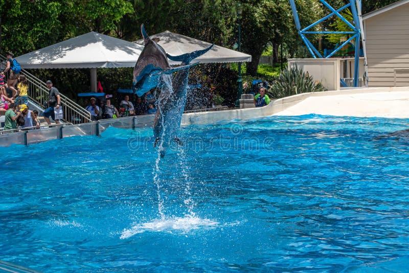 Os golfinhos que saltam em dias do golfinho mostram em Seaworld 7 fotografia de stock royalty free