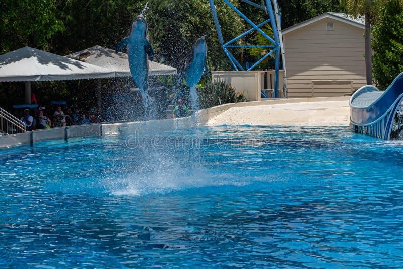 Os golfinhos que saltam em dias do golfinho mostram em Seaworld 28 fotografia de stock