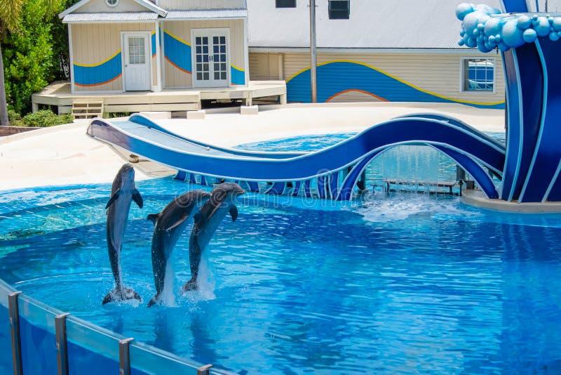 Os golfinhos que saltam na associação azul em Seaworld 3 imagens de stock