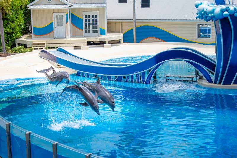Os golfinhos que saltam na associação azul em Seaworld 1 imagens de stock