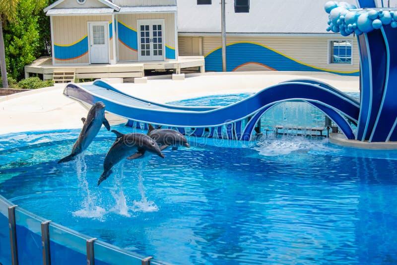 Os golfinhos que saltam na associação azul em Seaworld 4 imagens de stock royalty free