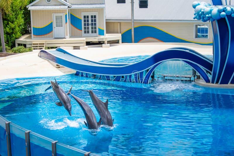 Os golfinhos que saltam na associação azul em Seaworld 2 imagens de stock royalty free