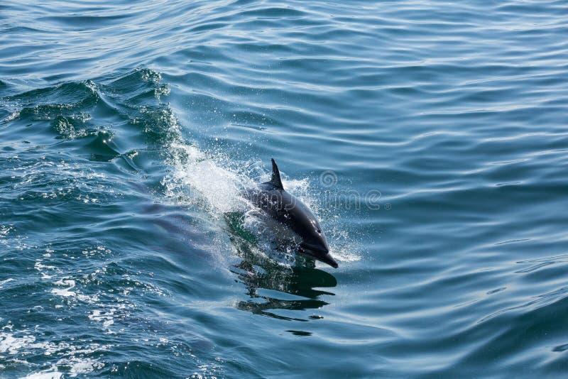Os golfinhos saltam e jogam como consequência de um barco fotografia de stock