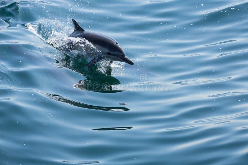 Os golfinhos saltam e jogam como consequência de um barco imagens de stock
