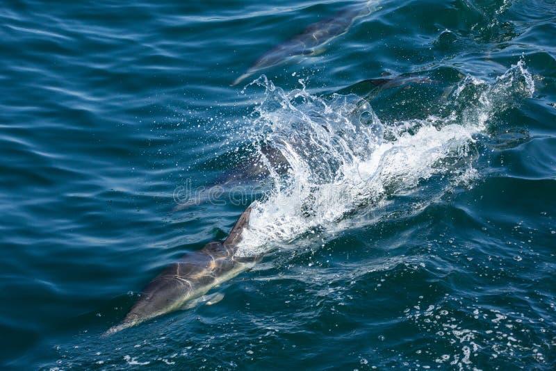 Os golfinhos saltam e jogam como consequência de um barco fotografia de stock royalty free