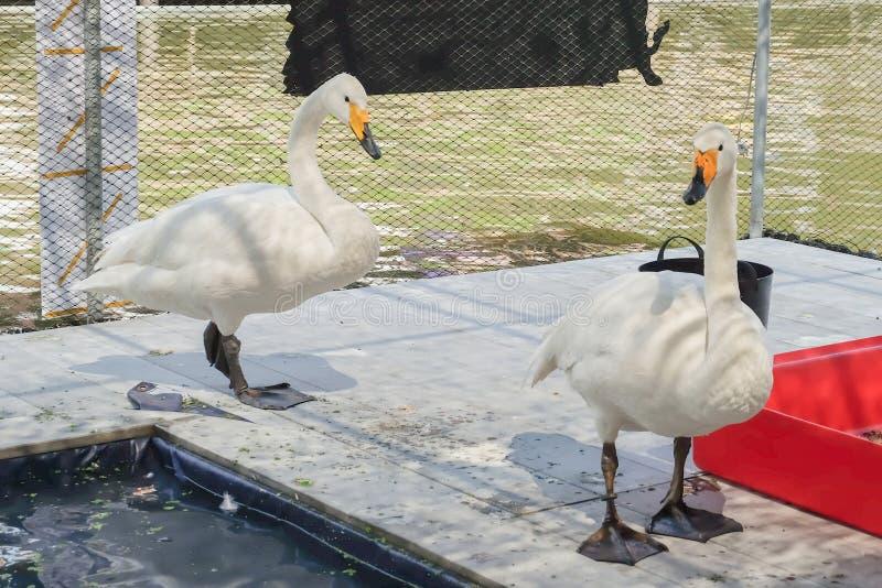 Os gooses brancos no assoalho e na água próxima da lagoa em Kwan-Riam flutuam fotos de stock royalty free