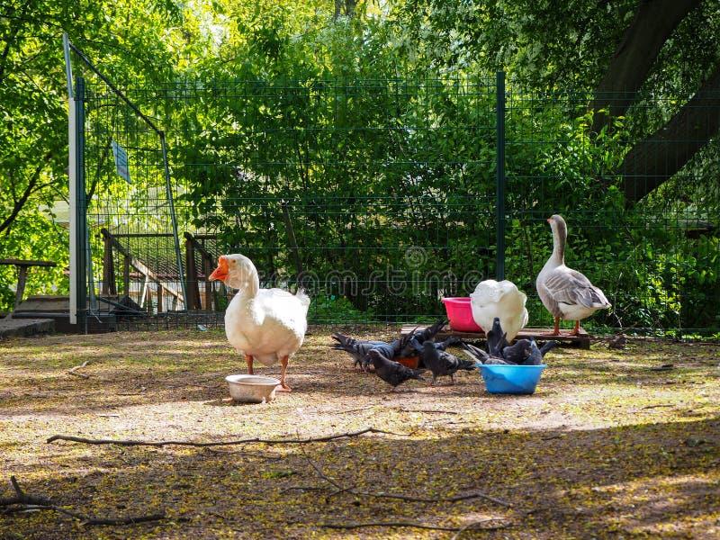 Os gooses e os pombos brancos estão comendo das bacias na jarda dos pássaros no parque imagens de stock royalty free