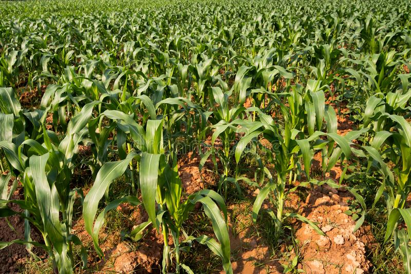 Os grandes campos de milho consideraram a planta de milho que apenas estava crescendo plantada junto em grandes números com folha fotografia de stock