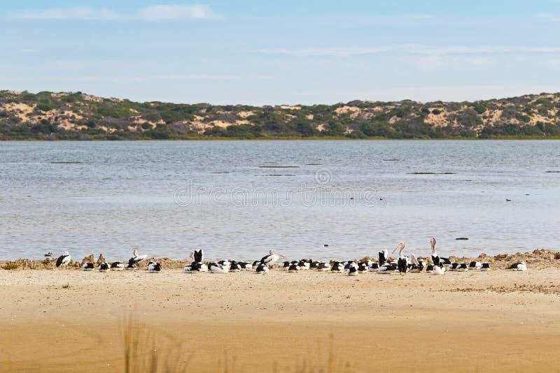 Os grandes pássaros de água australianos do pelicano que descansam na praia em arrulham foto de stock
