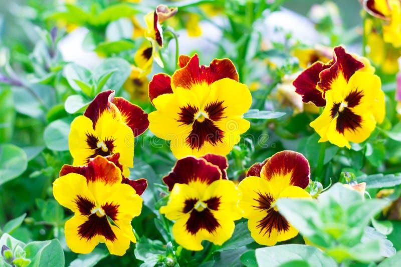 Os grandes pansies bonitos de flores amarelas e vermelhas florescem no jardim no verão fotografia de stock