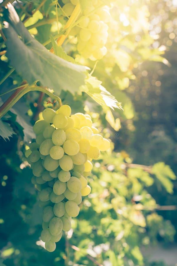 Os grupos de uvas suculentas maduras penduram em uma videira verde do vinhedo Quadro vertical foto de stock royalty free