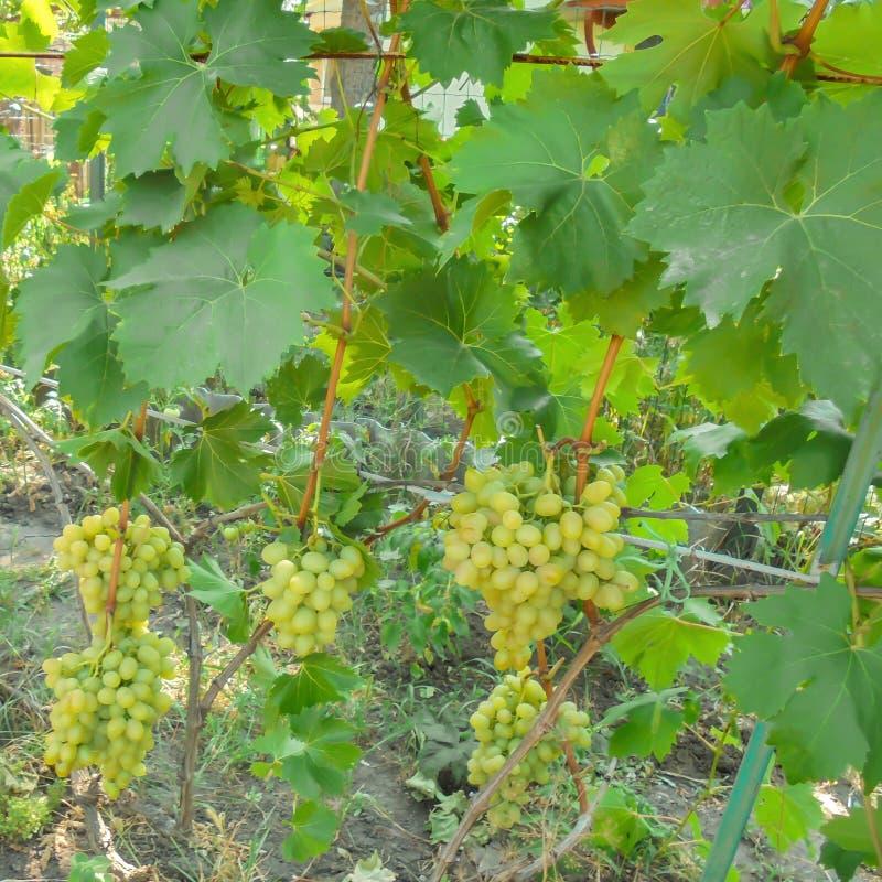 Os grupos de variedades Arkady da uva branca penduram na videira com as folhas na treliça foto de stock