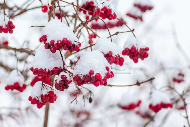 Os grupos do guelder aumentaram neve-tampado, no inverno durante imagens de stock royalty free