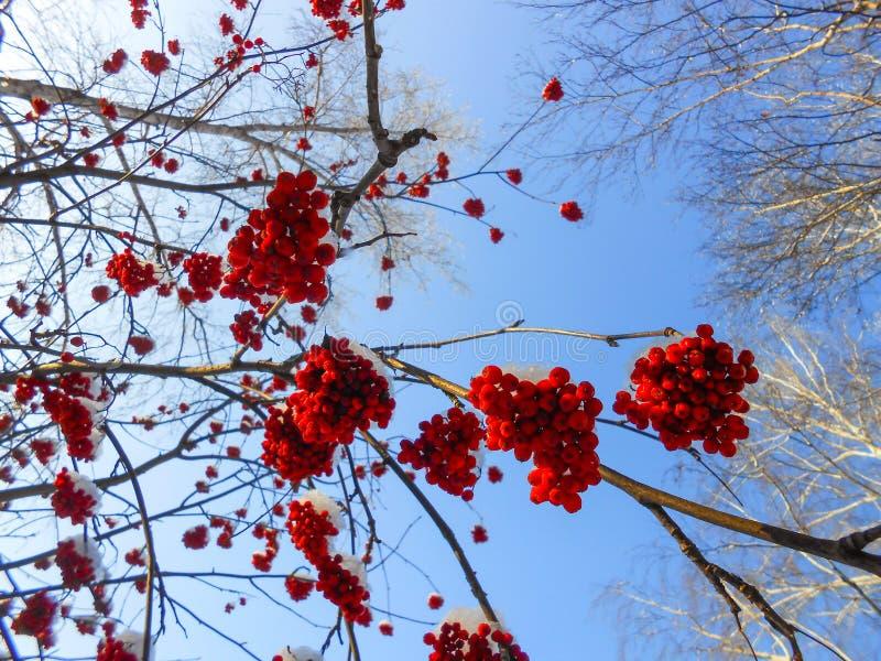 os grupos maduros suculentos de bagas de Rowan penduram nos ramos, polvilhados foto de stock