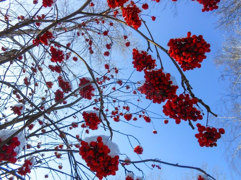 os grupos maduros suculentos de bagas de Rowan penduram nos ramos, polvilhados imagem de stock royalty free
