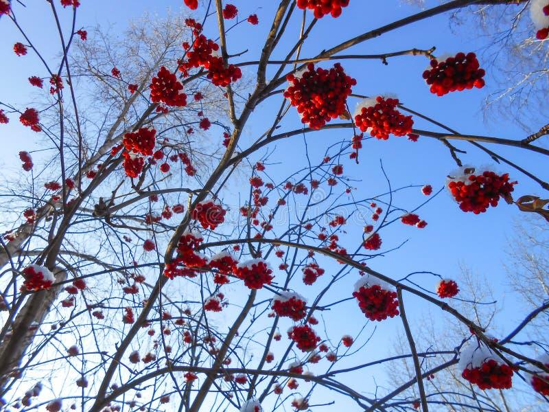 os grupos maduros suculentos de bagas de Rowan penduram nos ramos, polvilhados fotos de stock royalty free
