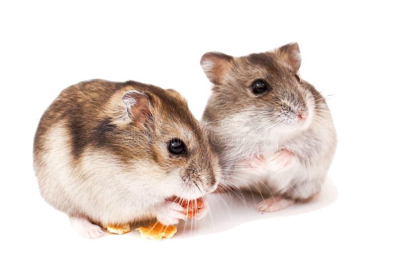 Os hamster no fundo branco, hamster comem o alimento seco imagens de stock