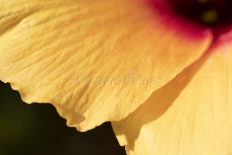 Os hibiscus amarelos florescem próximo acima da imagem Flor tropical bonita fotos de stock royalty free