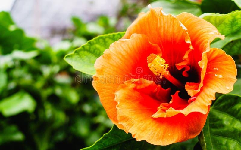 Os hibiscus bonitos florescem ou porcelana cor-de-rosa ou cl da flor da sapata fotos de stock