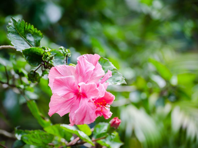 Os hibiscus cor-de-rosa bonitos florescem em uma estação de mola em um jardim botânico imagem de stock royalty free