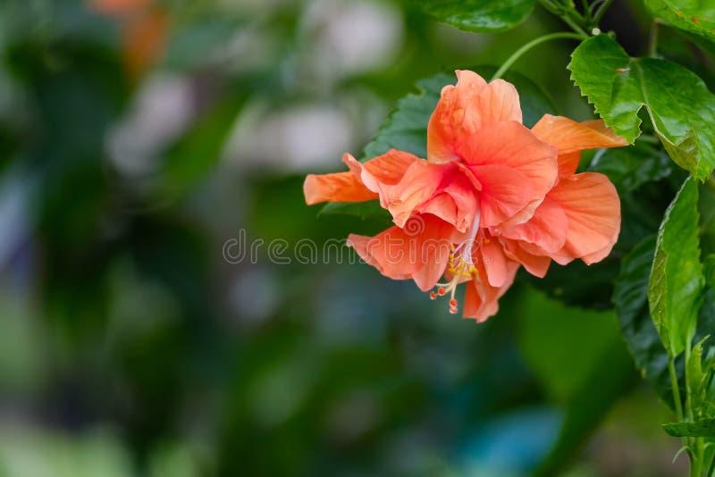 Os hibiscus florescem, laranja, dobro florescida na árvore fotos de stock