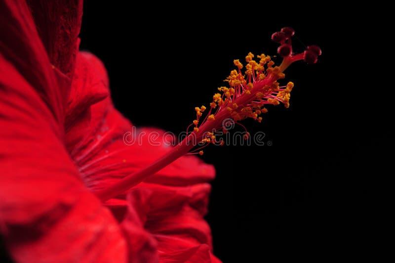Os hibiscus vermelhos florescem no fundo preto fotografia de stock royalty free