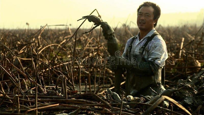 Os homens chineses escavam para fora raizes de uns lótus é um vegetal alto do rendimento que cresça profundamente nos sedimentos  fotografia de stock royalty free