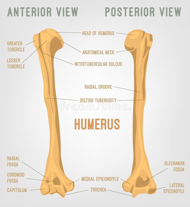 Os humain d'humérus illustration libre de droits