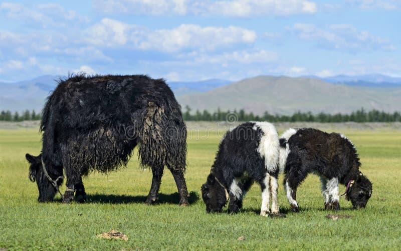 Os iaques acobardam-se com duas vitelas imagens de stock
