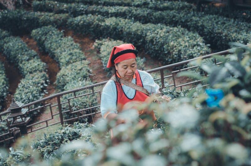 Os jardineiro recolhem as folhas de ch? imagem de stock royalty free