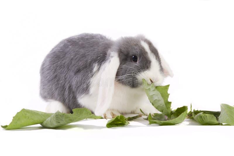 Os jovens mini-lop o coelho que come as folhas fotografia de stock royalty free