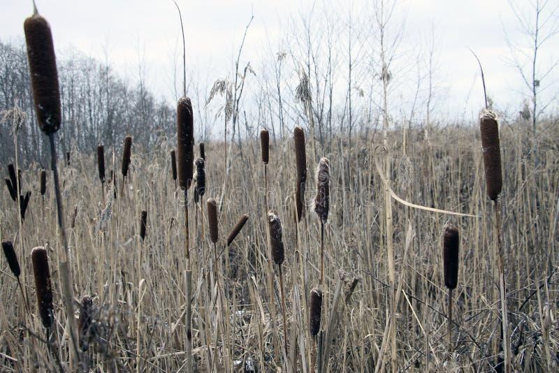 Os juncos do junco do typha dos cattails do Cattail cobrem o pântano do pântano dos totoras dos juncos foto de stock